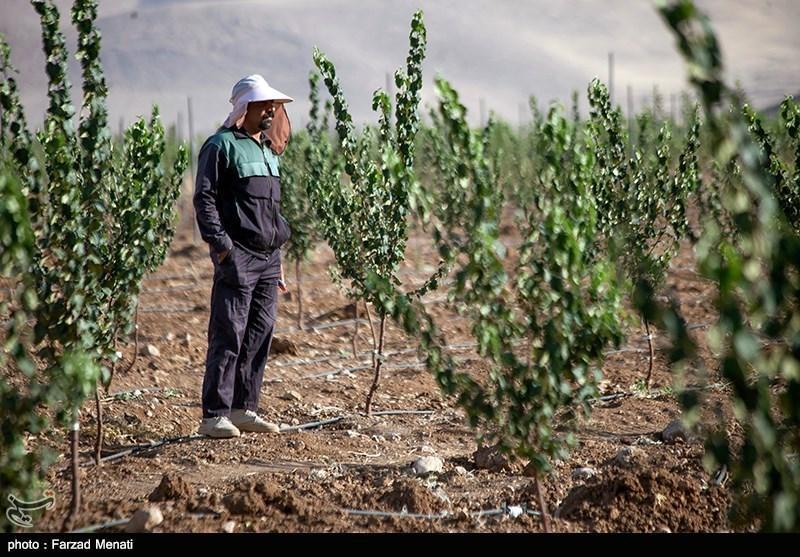 بالاترین آمار فراوری میوه در غرب آسیا متعلق به ایران است