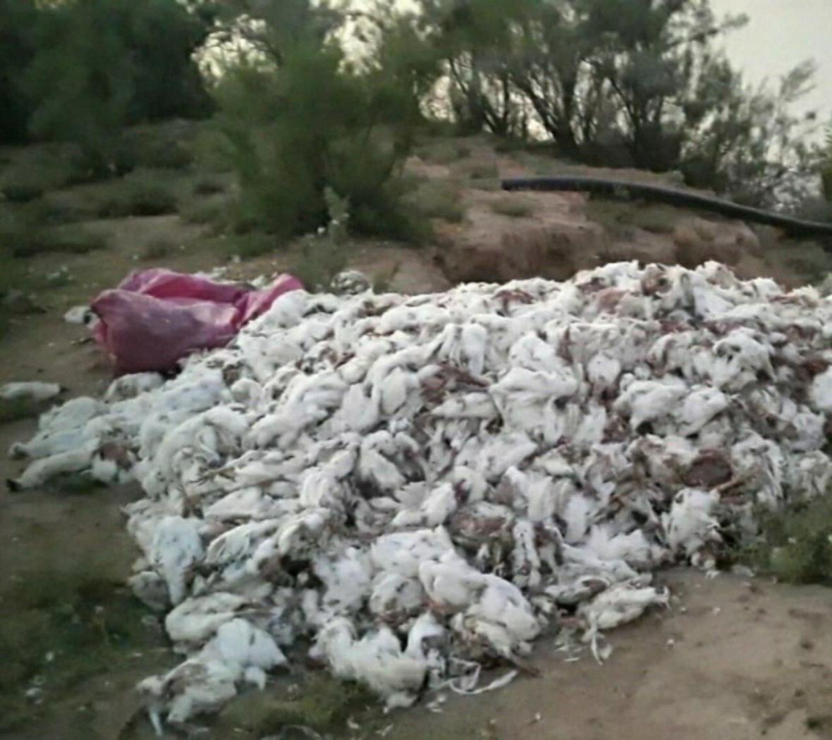 خبرنگاران دفن لاشه مرغ های رها شده در حاشیه کارون