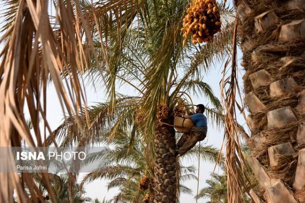 عضوگیری مجدد انجمن خرمای خوزستان تا انتها سال