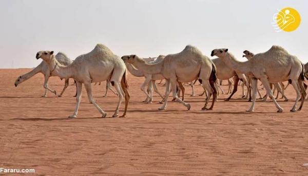 (ویدئو) پذیرایی با ادرار شتر در عربستان جنجالی شد!